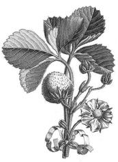 pâtisserie_recette_blog_fraise-charlotte_aux_fraises