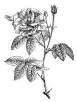 roses_gravure_fleurs_commestibles