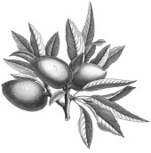 Illustration amandes.JPG