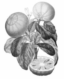 Blog patisserie gourmand et curieux en Normandie Bergamote recette